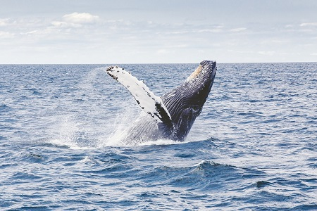 Humpback Whales, Up Close and Personal