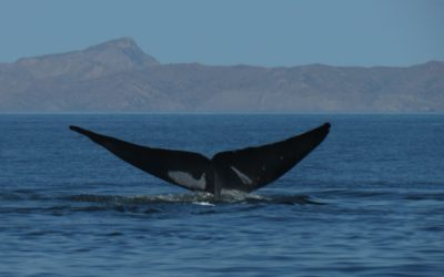 Jean's Journey with Blue Whales
